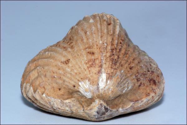Fossile né à l'Ordovicien et qui connut son apogée au Secondaire, je suis :