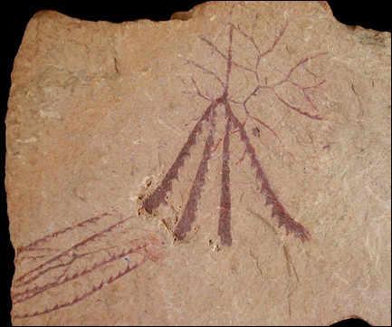 Quel est ce fossile apparu au Cambrien moyen et que l'on croyait disparu depuis 300 millions d'années et dont des colonies furent découvertes en 1989 en Nouvelle-Calédonie ?