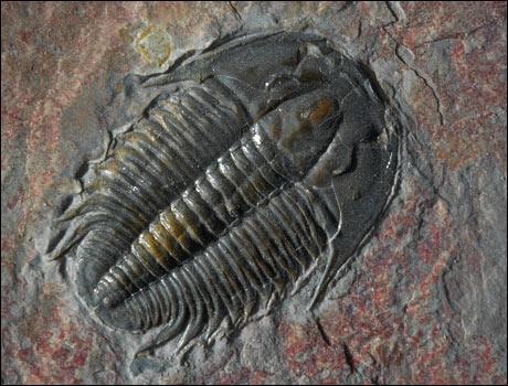 Comment se nomme ce fossile ayant vécu au Primaire, depuis le Cambrien jusqu'au Permien ?