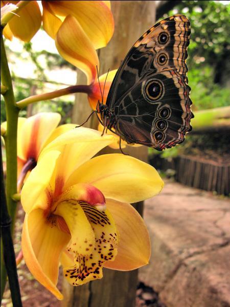 C'est sur le continent américain que l'on peut voir le papillon morpho !
