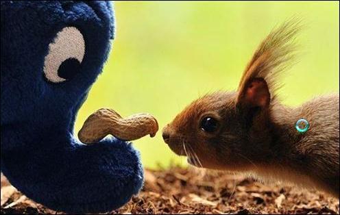 Cet écureuil est un écureuil roux d'Europe !