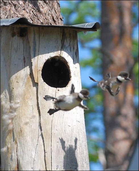 Les oisillons qui sautent sont des canetons !
