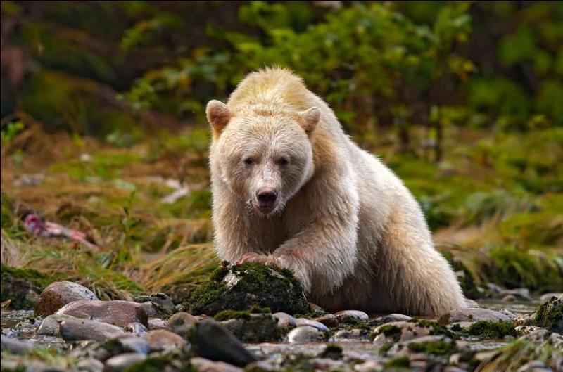 Malgré sa couleur très claire, c'est bien d'un grizzly qu'il s'agit !