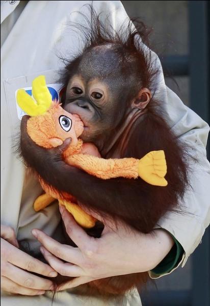 Vous pouvez l'admirer à Sumatra et Bornéo, c'est l'orang-outan !