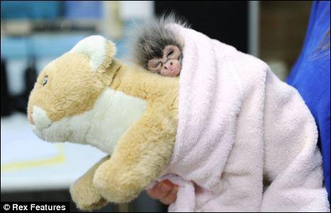 Ce bébé singe vit dans les grandes forêts d'Amérique du Sud et Centrale, on l'appelle singe-araignée ou atèle !
