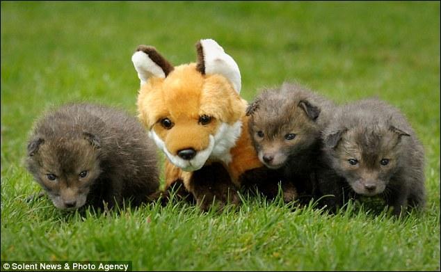 Un peu plus difficile, ces jeunes canidés sont des louveteaux !