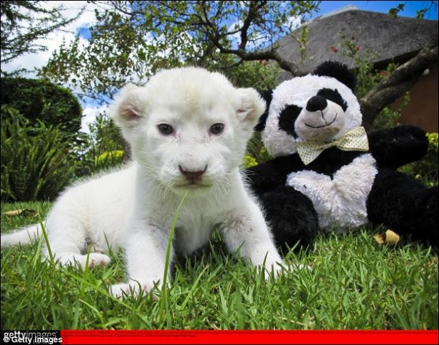 Au premier, plan, c'est un lionceau blanc que vous voyez !