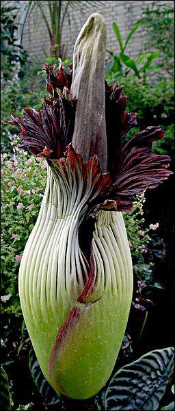 C'est une plante très rare de la famille des aracées, son inflorescence peut mesurer plus de deux mètres. Comment est-elle appelée ?