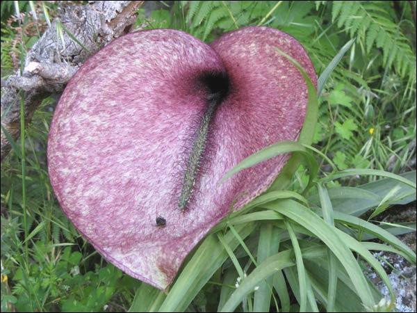 Elle est présente dans les îles de la Méditerranée. Avec sa couleur de viande en décomposition et son odeur de charogne, que piège l'helicodiceros muscivorus ?