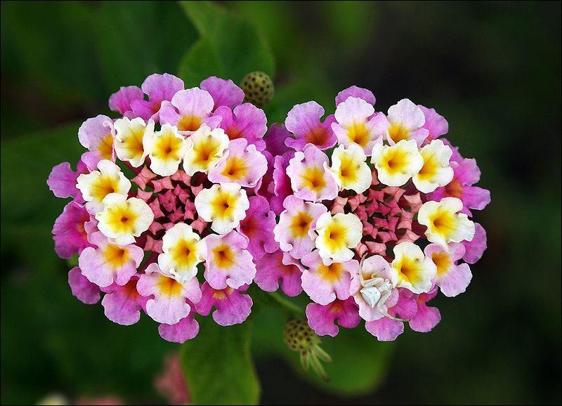 Originaire des Antilles, son inflorescence a la particularité de présenter plusieurs couleurs de fleurs sur un même panicule. Quelle est cette plante ?