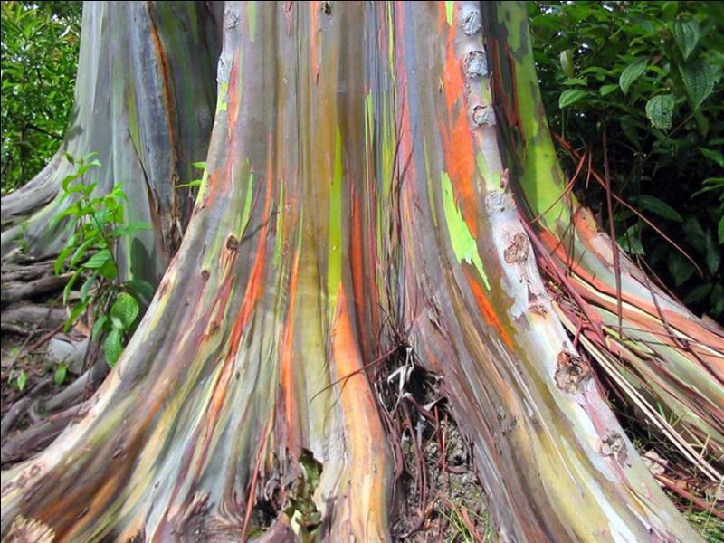 Quel est cet arbre surprenant dont l'écorce se détache en lambeaux qui prennent des couleurs de l'arc-en-ciel ?