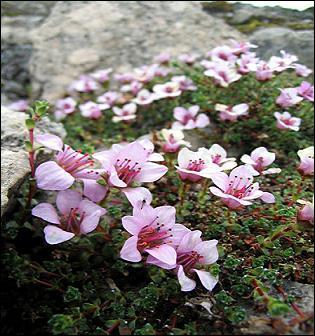 Plante protégée dans 5 départements (03, 15, 43, 63). Elle est très rare dans le Cantal. Où donc doit-elle bénéficier de toutes les mesures de sauvegarde ?