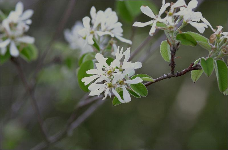 C'est un arbuste de la famille des Rosacées. On le surnomme parfois l'arbre aux oiseaux, ses fruits sont comestibles, et il est protégé en Limousin.