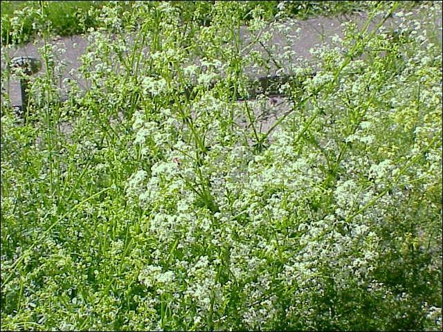 Le Galium mollugo est une plante herbacée vivace de la famille des rubiacées, de l'ordre des gentianes, protégée notamment en Bretagne. Sous quel autre nom le connaît-on ?