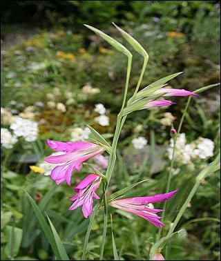 Jolie fleur connue sous le nom de glaïeul d'Italie, plante vivace de la famille des Iridaceae, que l'on nomme également : ------ Elle est protégée en région Auvergne.