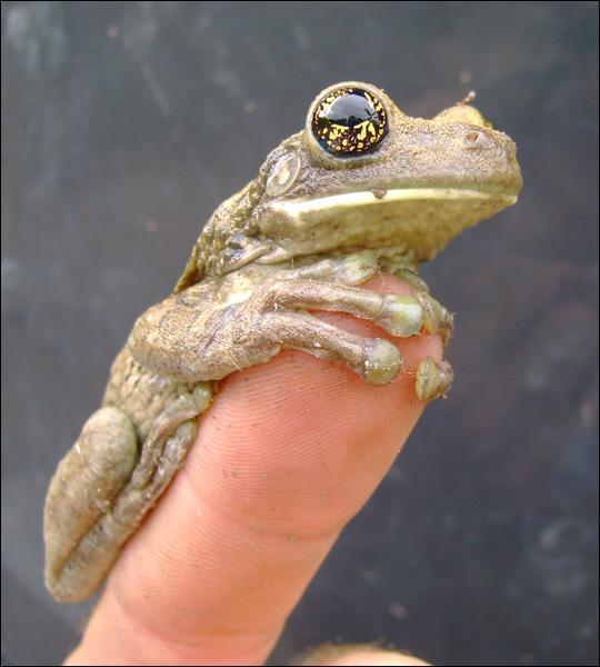Le verbe grenouiller existe !