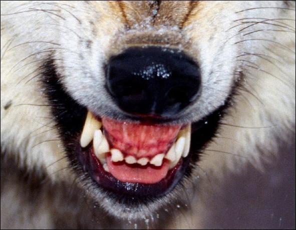 Serviteur au portier, Dit-il ; et de courir. Il était fort agile ; Mais il n'était pas fort habile : Ce ------ ne savait pas encor bien son métier . Qui montre les dents ?