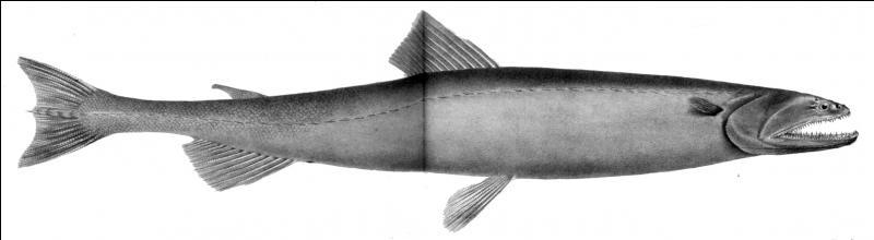 Je suis un assez petit poisson abyssal. Qui suis-je ?