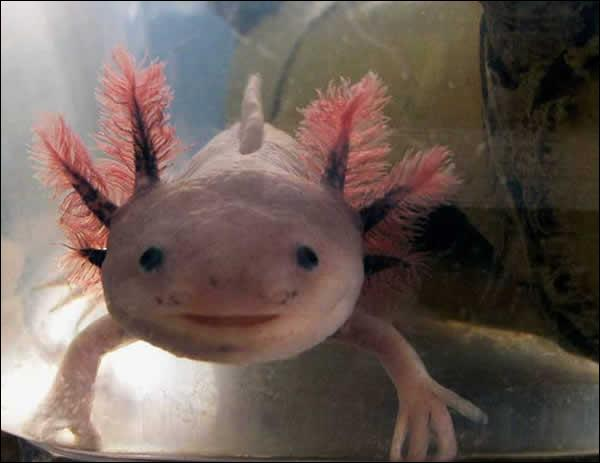 Quel est cet amphibien, endémique d'un lac mexicain ?