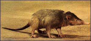 Je suis un des rares mammifères venimeux. Quel animal antillais suis-je ?