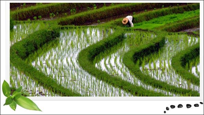 Quizz des c r ales quiz plantes nature monde entier - Quelle quantite de riz par personne ...