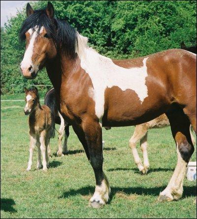 Un poney est un équidé de moins de :