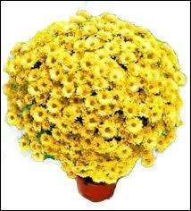En anglais, le titre du film s'intitule  Curse Of The Golden Flower . En français, on pourrait traduire par  La Malédiction de la Fleur Dorée . De quelle fleur est-il question dans ce film ?