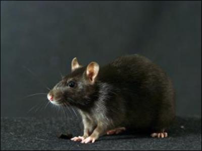 Croûtard, le rat de Ron, est traduit par...