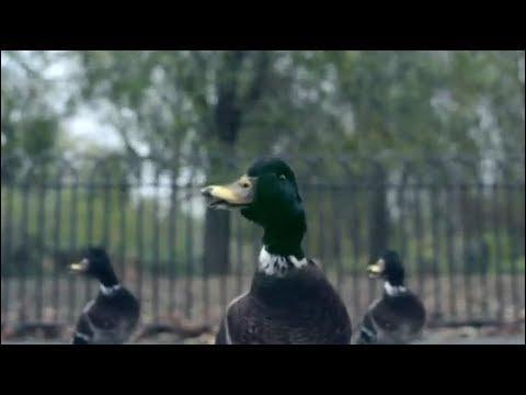 Pourquoi Bertrand se fait-t-il appeler  canard  ?