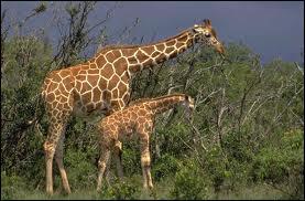 Que veut dire qu'une personne est une  grande girafe  ?