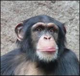 Combien de temps la maman chimpanzé nourrit-elle son petit ?