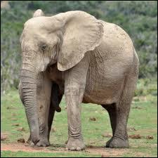 Pourquoi l'éléphant remue-t-il ses oreilles ?