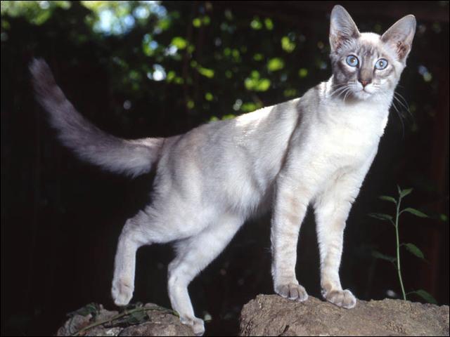 Cette île sur laquelle est située la capitale de l'Indonésie, Jakarta, est allongée et concentre près des deux tiers de la population indonésienne. Ce chat porte le même nom que ses habitants. C'est le :
