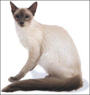 Cette autre île d'Indonésie est séparée de la précédente par le détroit de Bali. Ce chat porte le même nom que ses habitants. C'est le :