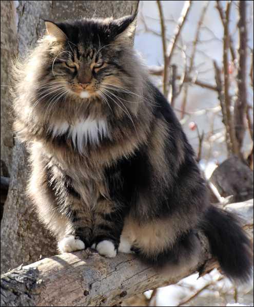 Cet état d'Europe du Nord, dont la capitale est Oslo, est réputé pour ses fjords. Ce chat porte le même nom que ses habitants. C'est le :