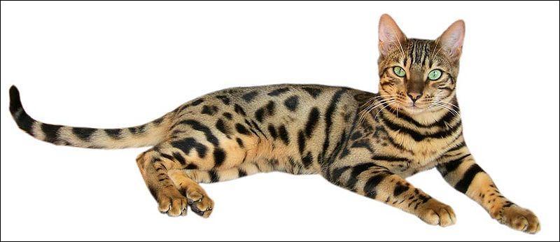 Cet état, dont la capitale est Calcutta, fut rattaché à l'Union indienne en 1947. Ce chat porte le même nom que ses habitants. C'est le :