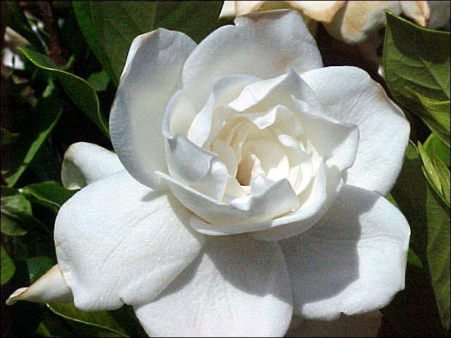 Je vous aime en secret.   Quelle fleur dois-je offrir ?