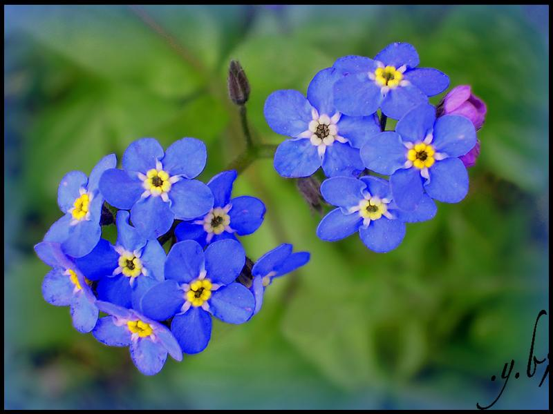 Ne m'oubliez pas.   Quelle fleur dois-je offrir ?