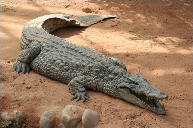 Elles sont le fruit d'une légende selon laquelle, les crocodiles du Nil poussaient des gémissements pour feindre une grande peine et attirer leurs victimes. Ce proverbe désigne un chagrin hypocrite destiné à tromper les autres. Quelle est cette expression ?