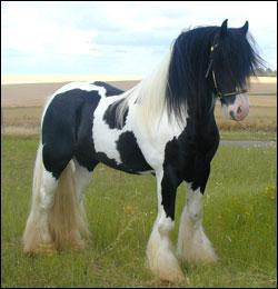 A quelle race appartient ce cheval :