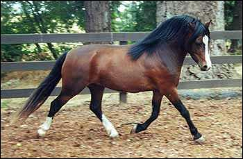A quelle race appartient ce poney :