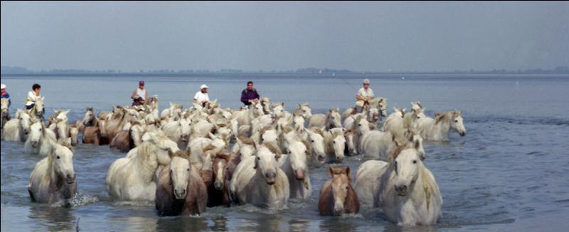 Cette région française marécageuse du sud-est est célèbre pour ses taureaux et son riz. Quel est son nom ?