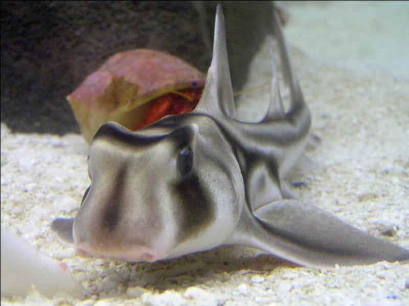 Mon préféré (tout mimi). Comment s'appelle ce requin ?
