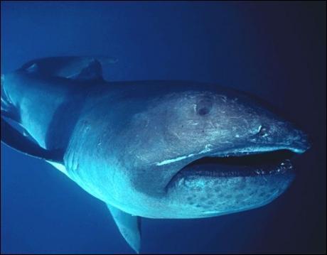 Aussi récent que le 10. Comment s'appelle ce requin ?