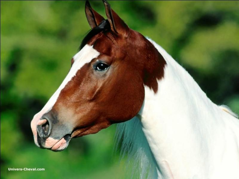Que cela signifie-t-il lorsque le cheval a les oreilles franchement pointées en avant et la nuque fléchie ?