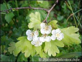 Quelle est cette jolie fleur dont l'arbuste porte des épines ?