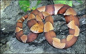 Quel est ce serpent dont la morsure à la cheville peut être de gravité modérée chez un adulte, mais mortelle à l'abdomen, ou sur le visage d'un enfant ?