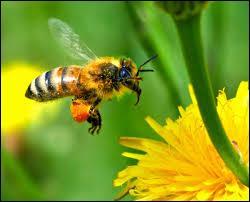 Quel est cet insecte qui laisse son dard lors de sa piqûre, et meurt après avoir piqué ?
