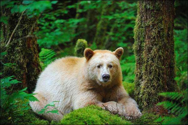 Voici le célèbre mais néanmoins mystérieux ours esprit ou ours kermode, il ressemble à l'ours polaire, pourtant il est une sous-espèce du grizzly !