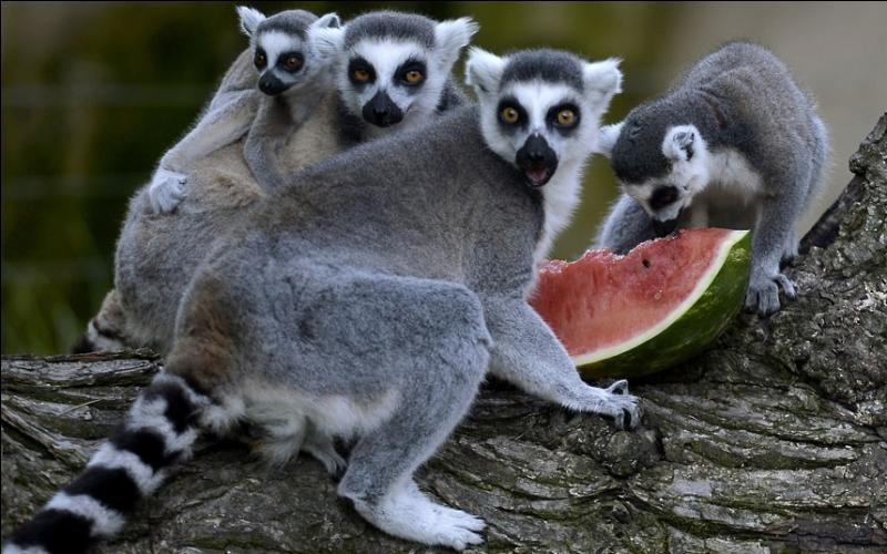 Comme vous pouvez le voir, les suricates de Madagascar adorent la pastèque !